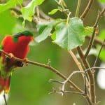 Uravaero, la perruche colorée de Rimatara