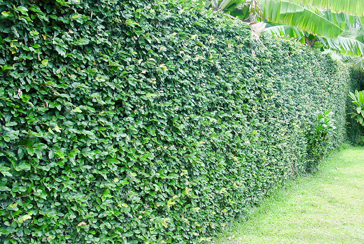 Mur couvert de Ficus pimula, le lierre de Tahiti