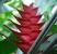 Balisier des Caraïbes - Heliconia queue de poissons, Heliconia Buhea © Tahiti Heritage