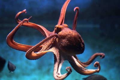 légende de la pieuvre de Papetoai, Moorea