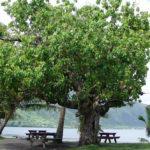 Tianinia, Hernandier, Hernadia Sonora-Tautira © Tahiti Heritage
