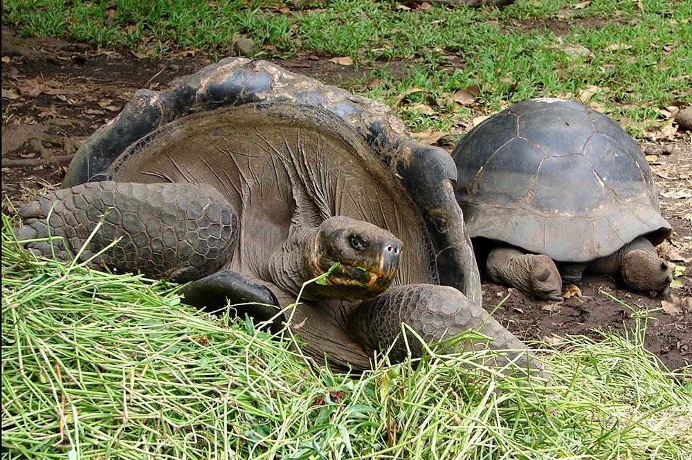 Tortues du jardin botanique de tahiti tahiti heritage for Amenagement jardin pour tortue