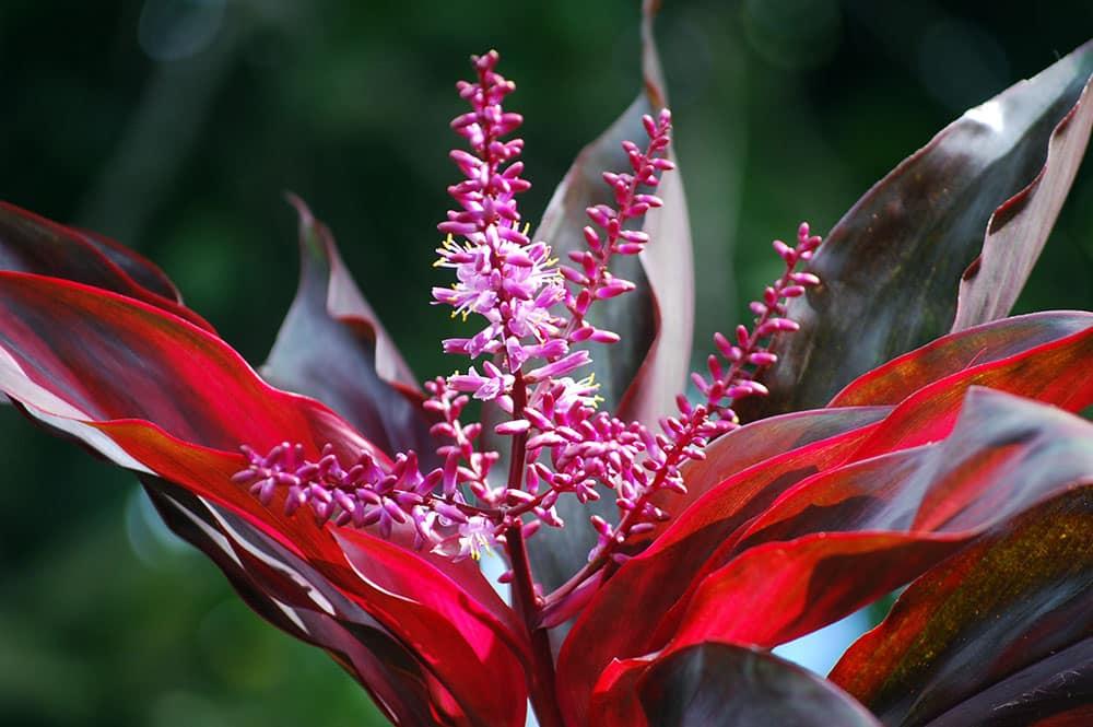 Cordyline auti de tahiti la plante sacr e tahiti heritage - Cordyline feuilles qui jaunissent ...