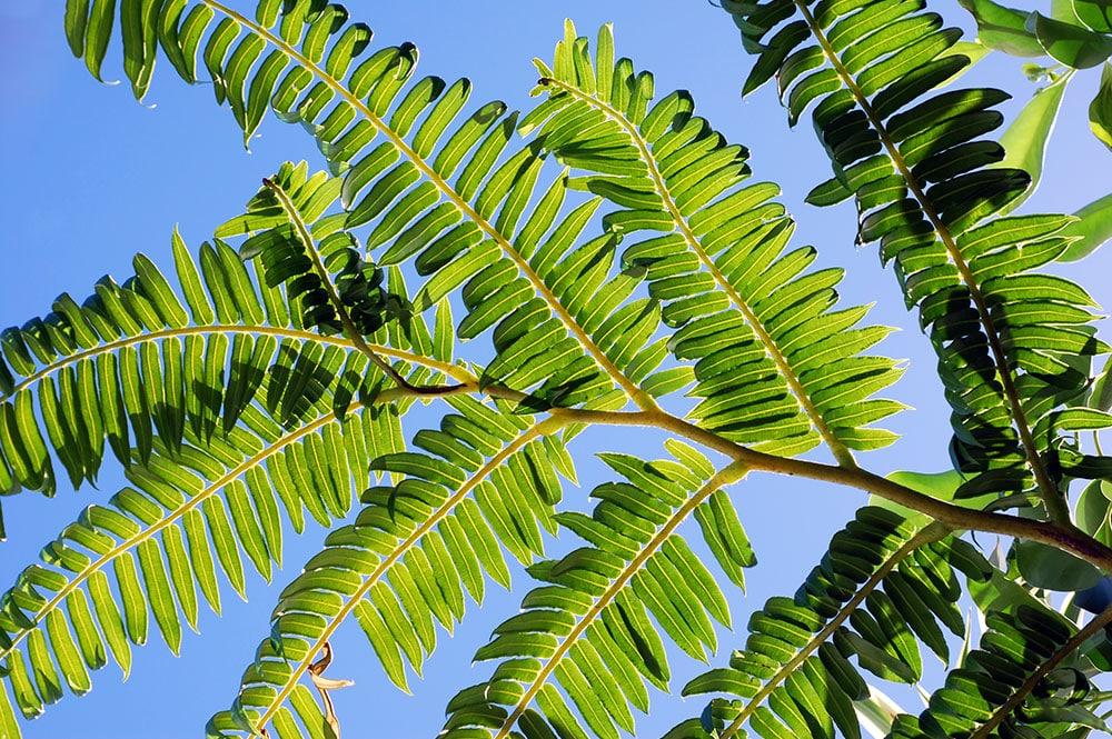 Aloe vera la plante source de jeunesse tahiti heritage - Plante longue feuille pointue ...