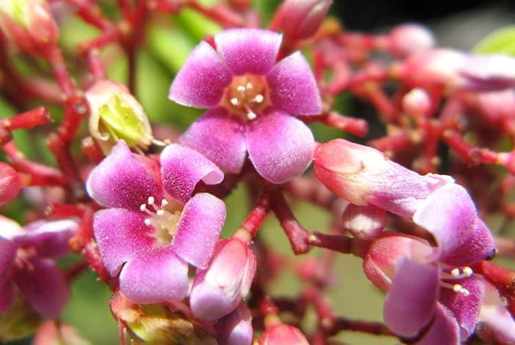 Fleur de Carambolier