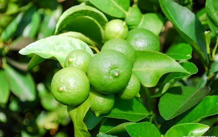 Citron vert de Tahiti, Citrus aurantifolia © Tahiti Heritage