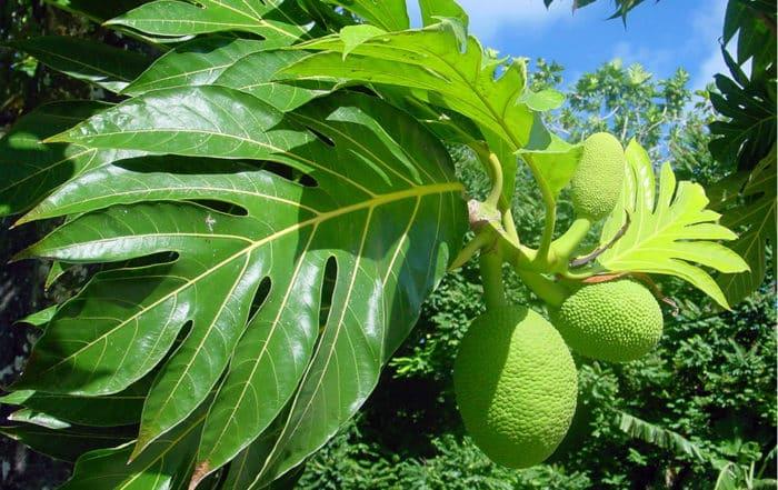 Uru, fruit de l'arbre à pain. Artocarpus altilis © Tahiti Heritage